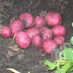 Black Gold Farms' Fresh Red Potato Shipments Coming Out of Missouri