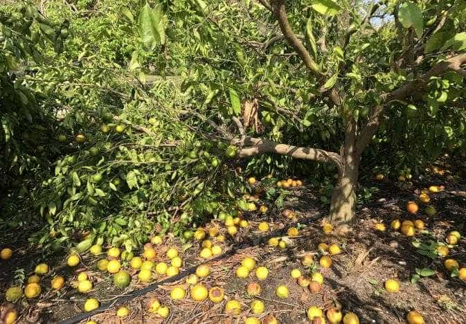 FL Facing Its Lowest Orange Yield In Decades; 19 Counties Declared Disaster Areas