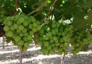 GrapesSA