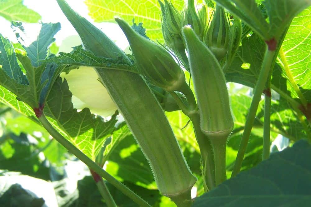 Imports:  Shelf Life of Okra is Extended; The First Shipment of Sweet Sapphire Grapes