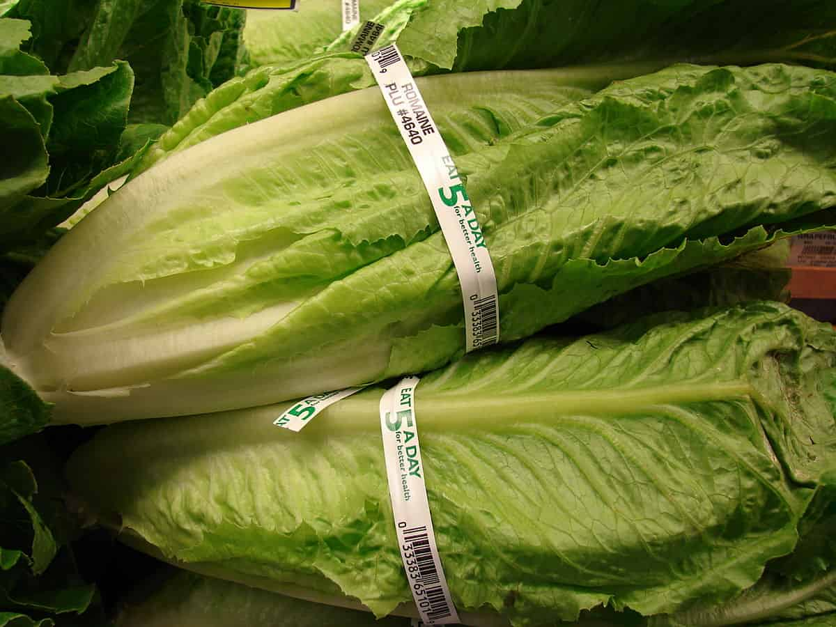 CDC Warns 'Do Not Buy or Eat Romaine Lettuce from Yuma' Due to E. Coli