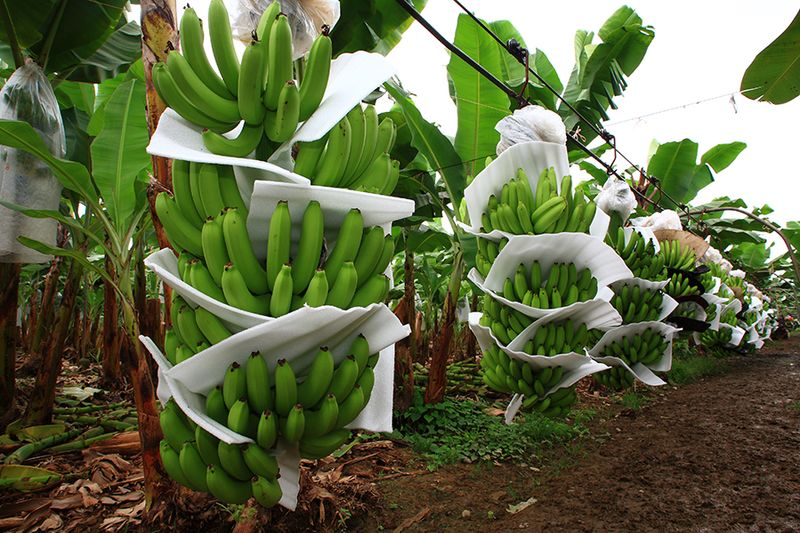 Banana Imports to Increase; Limes and Brussel Sprout Show Bigger Volumes