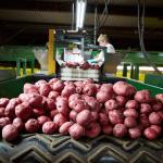 Average Wisconsin Spud Volume is Seen; California Grape Shipments Keep Growing