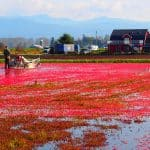 Massive Amounts of Cranberries Could be Dumped This Season