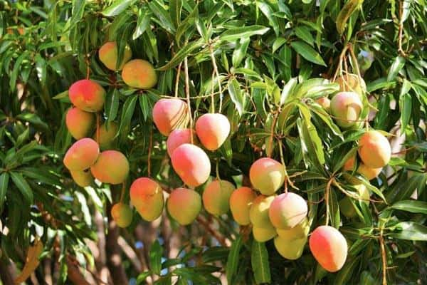 Mango Imports Soar; Koru Apple Shipments Continue to Increase